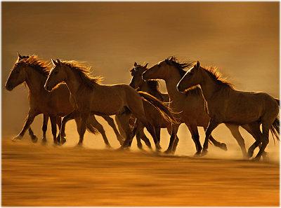 American Mustangs