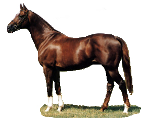 The Anglo Arab Horse Breed