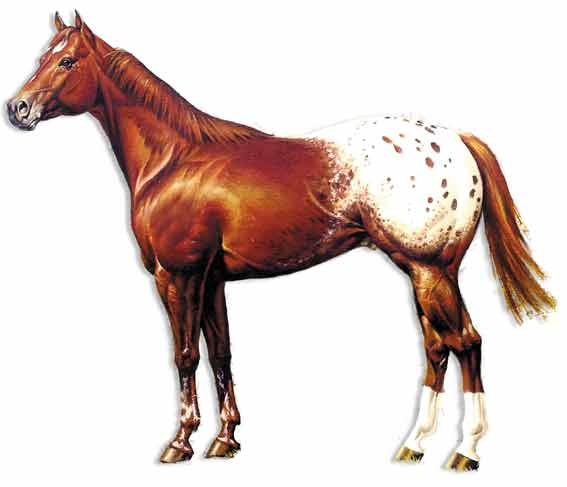 Attributes of the Appaloosa Horse Breed