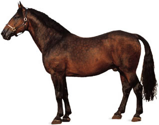 Cleveland Bay Horse Breed