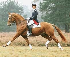 Classical Dressage Horse Weltmeyer
