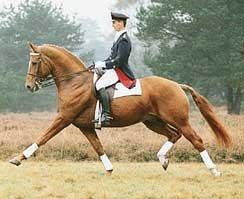 Dressage Horse Weltmeyer