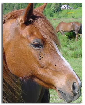 tatii Admin: HELP! Horse-face-flies