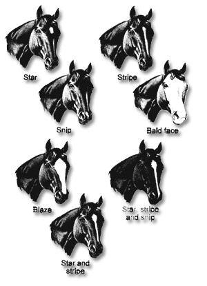 Horse Head Markings