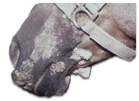 Horse Sarcoids / Equine Sarcoids