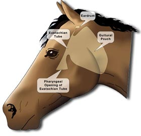 What is horse strangles prevention and management