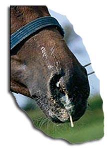 Strangles symptoms - Nasal Discharge