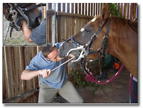 The equine dentist manually floating horse teeth