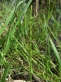 Mares Tail, Horsetail or Scouring Rush can poison horses | Local ...
