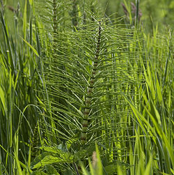 Mares Tail Sprouts in the Spring