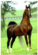 Saddle Bred Horse Breed Associations