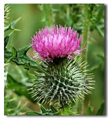 The Scottish Thistle, Scotlands national flower