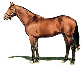 The Thoroughbred Horse Breed