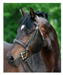 Trakehner Horse Breed Associations
