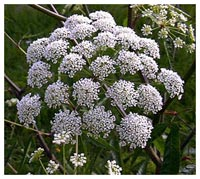 Toxic to Horses - Water Hemlock