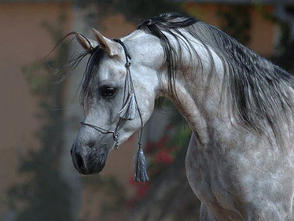 Distinctive Arabian Horse Head