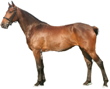 Danish Warmblood Breed