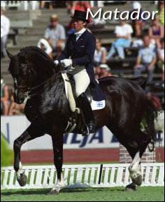Danish Warmblood Matador