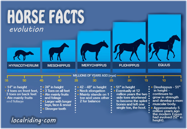 Horse Facts - Evolution of the modern horse