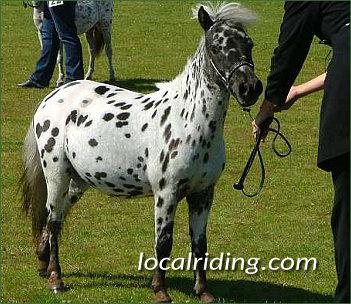 Miniature Falabella Horse - Leopard Spotted