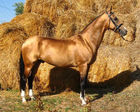 Akhal-Teke Horse Breed