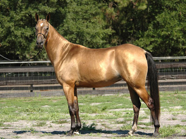 Good Akhal-Teke Horse Conformation