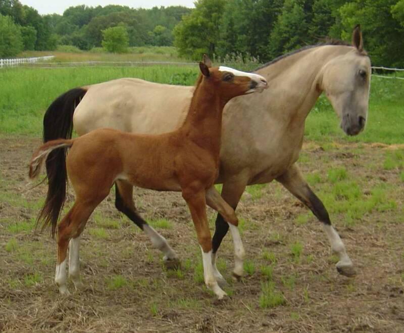 Akhal-Teke Horse Mare & Foal