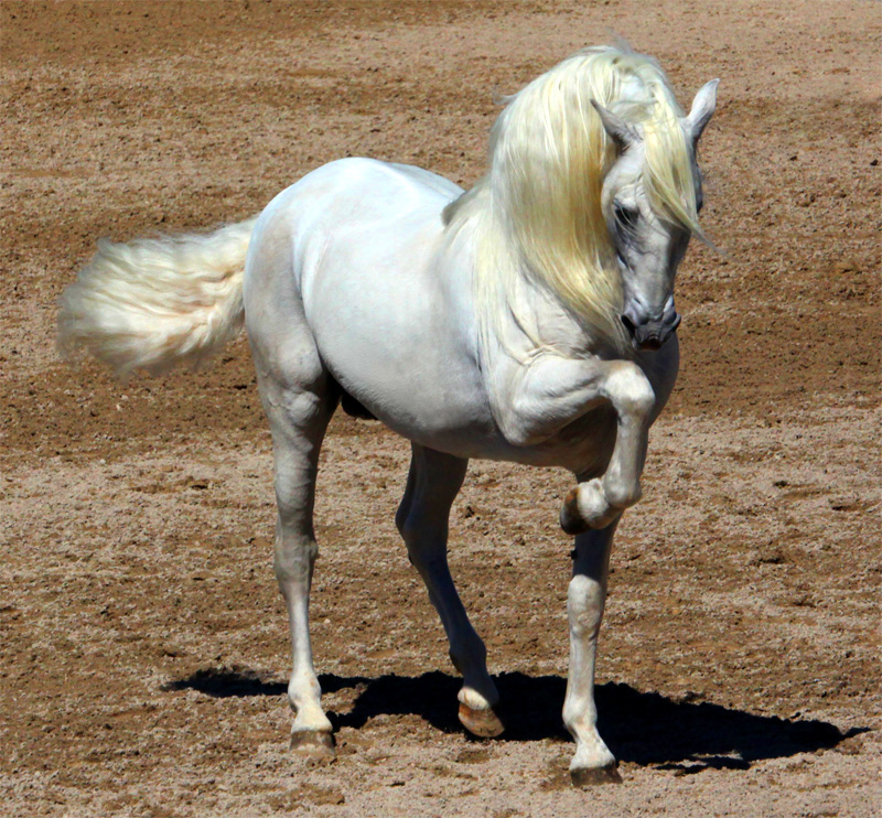 Flashy Andalusian Horse Pose
