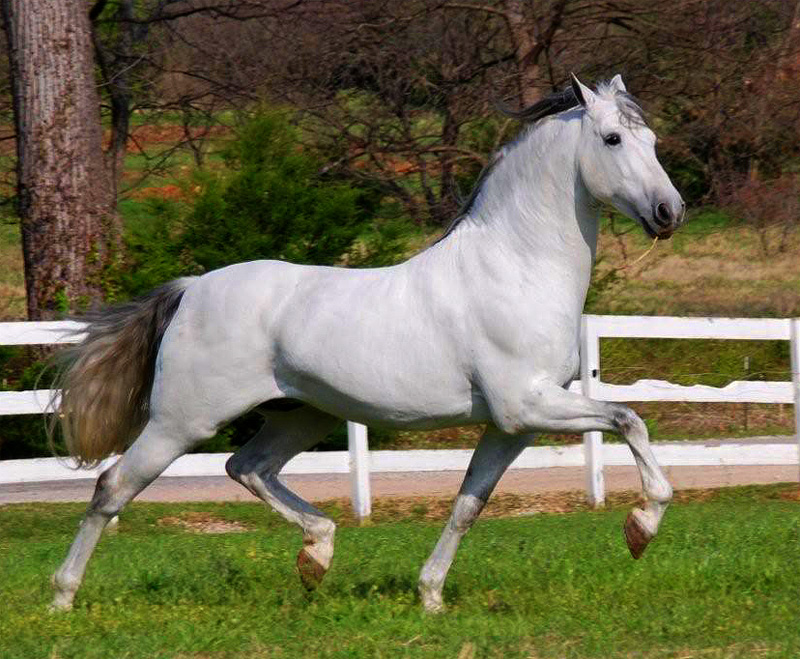 The Andalusian Horse Breed   Local Riding