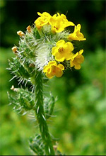 Fiddleneck toxic to horses